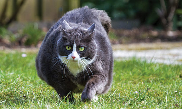 Veterinary Nutritionists Try to Curb Obesity in Cats