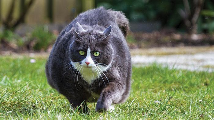 An overweight cat