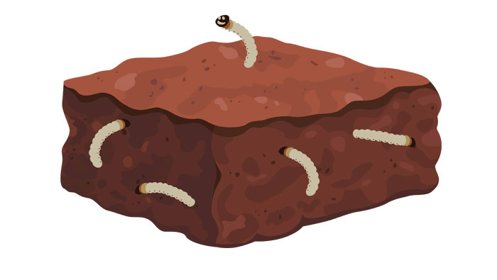 mealworm brownie illustration