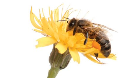 How to Become a Bee Watcher