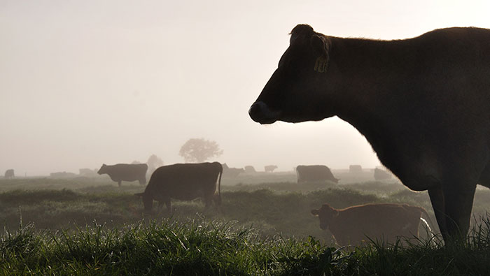 Making Cows More Sustainable, Less Gassy