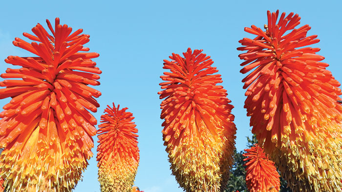 Kniphofia aka Christmas Cheer