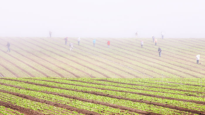 Farmworkers in Salinas, California