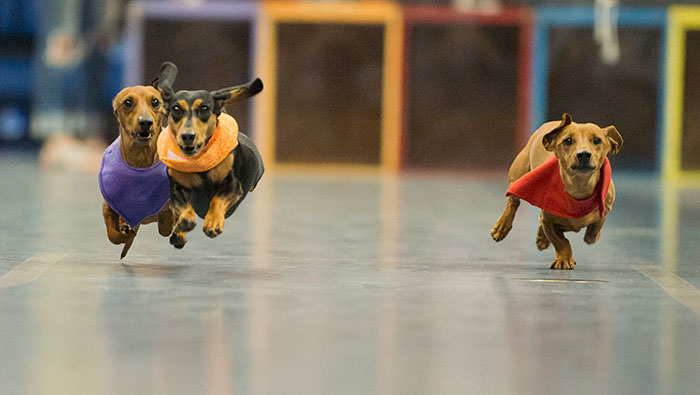 Three dogs run in the Doxie Derby