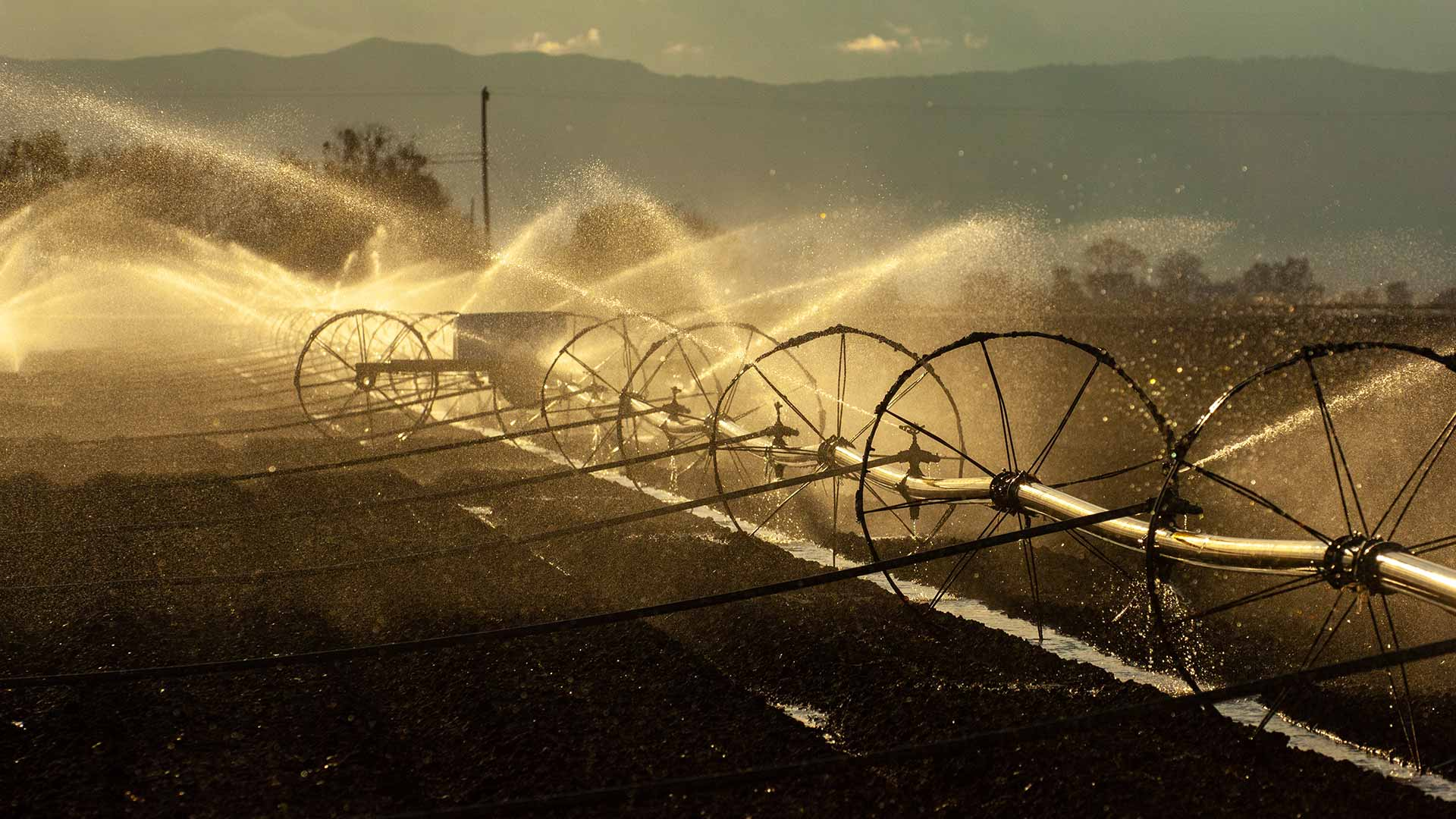 An agricultural field is irrigated with large sprinklers