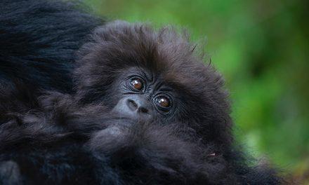 Davis Connection to Baby Gorilla