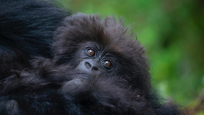 Nshunguye or 'Rescuer' - the infant mountain gorilla named by Deborah Dunham during Kwita Izina 2021. Nshunguye is the infant of adult female Kurudi of the Titus family group of mountain gorillas in Volcanoes National Park, Rwanda. Photo courtesy of Rwanda Development Board © 2021.